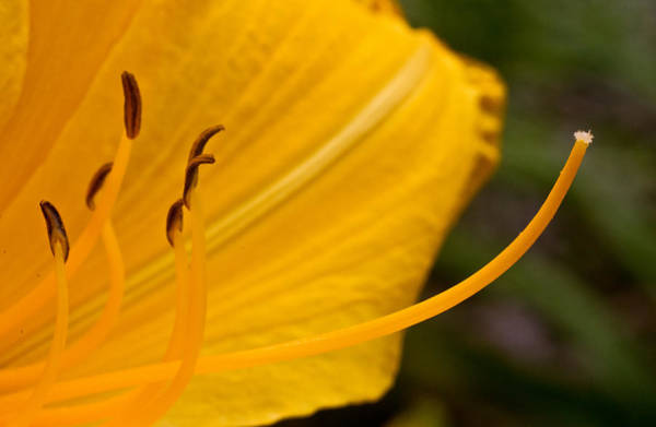 Passionate Photograph - Lilly Pistil And Staymens by Douglas Barnett