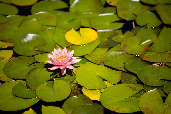 Lilly Pad Wall Art - Photograph - Lilly Pond Pink by Peter Tellone