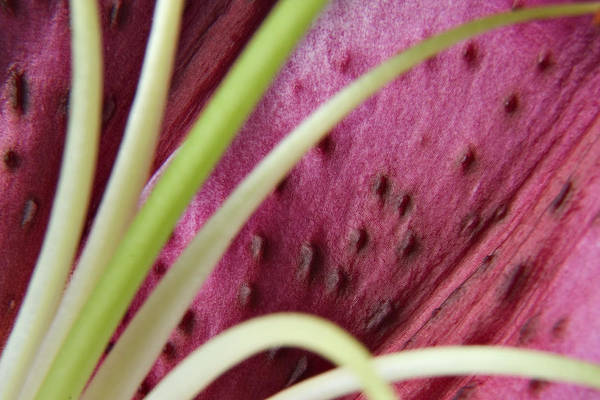 Photograph - Lily 02 by Randy Grosse