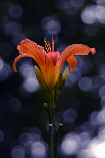 Photograph - Lily After A Shower by Raymond Salani III