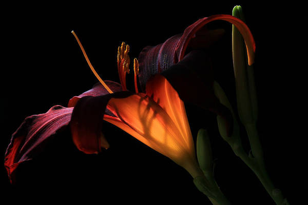 Wall Art - Photograph - Lily Ambiance by Donna Kennedy