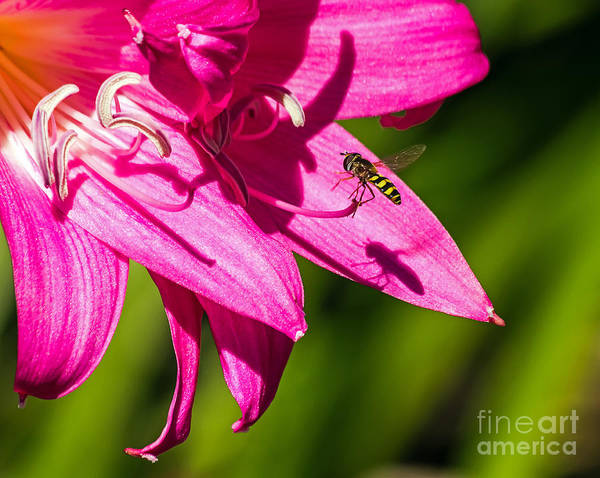 Photograph - Lily And Fly by Kate Brown
