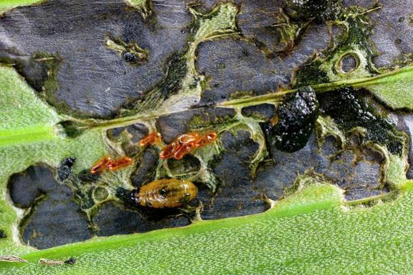 Lilium Wall Art - Photograph - Lily Beetle Larvae On A Lily Leaf by Dr Jeremy Burgess