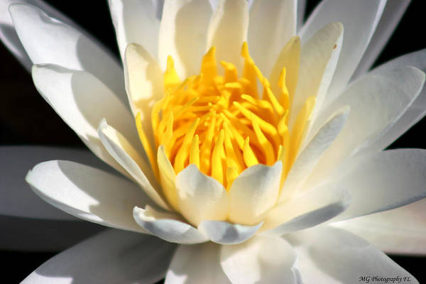 Photograph - Lily Flower by Marty Gayler