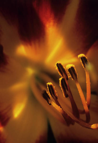 Stamens Photograph - Lily Flower Stamens by Dr. John Brackenbury/science Photo Library
