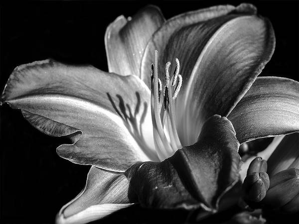 Light And Shadow Digital Art - Lily In Black In White by Camille Lopez