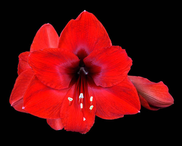 Photograph - Lily In Red   by Wayne Wood