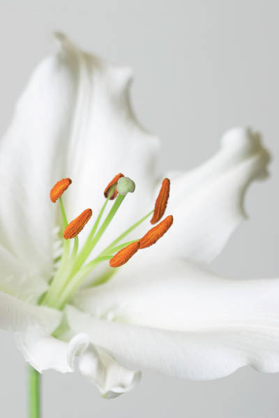 Lilium Wall Art - Photograph - Lily (lilium Sp.) by Emmeline Watkins/science Photo Library