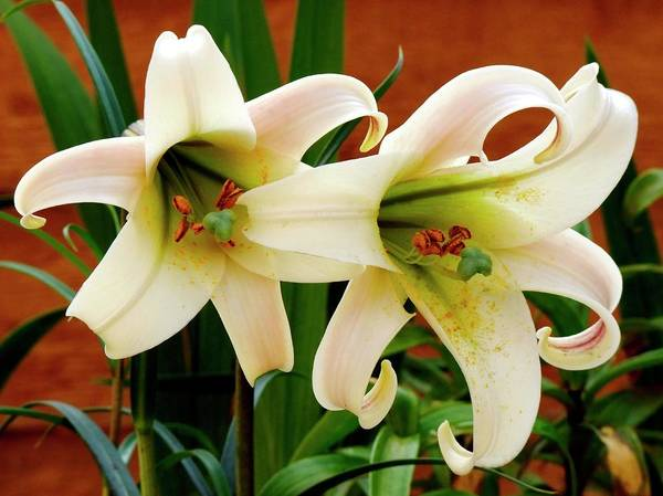 Lilium Wall Art - Photograph - Lily (lilium 'white Crane') Flowers by Ian Gowland/science Photo Library