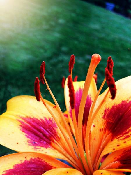 Tigerlily Wall Art - Photograph - Lily Love by Lisa Fisher