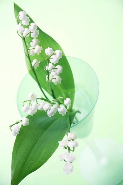Floristry Photograph - Lily Of The Valley (convallaria Majalis) by Erika Craddock/science Photo Library