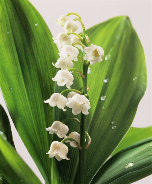 Medicinal Photograph - Lily-of-the-valley Flowers by Sheila Terry/science Photo Library
