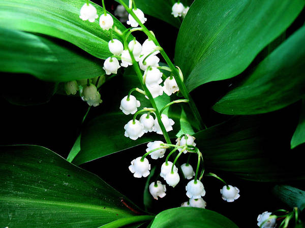 Photograph - Lily Of The Valley by Gerry Bates