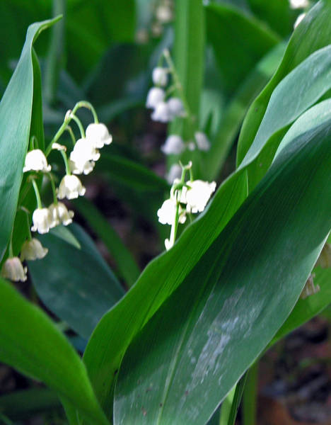 Wall Art - Photograph - Lily Of The Valley by Janis Beauchamp