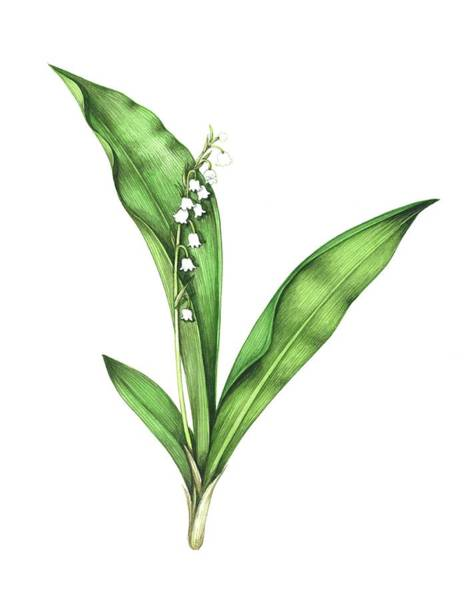 Wall Art - Photograph - Lily Of The Valley by Lizzie Harper