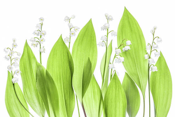 High Key Wall Art - Photograph - Lily Of The Valley by Mandy Disher