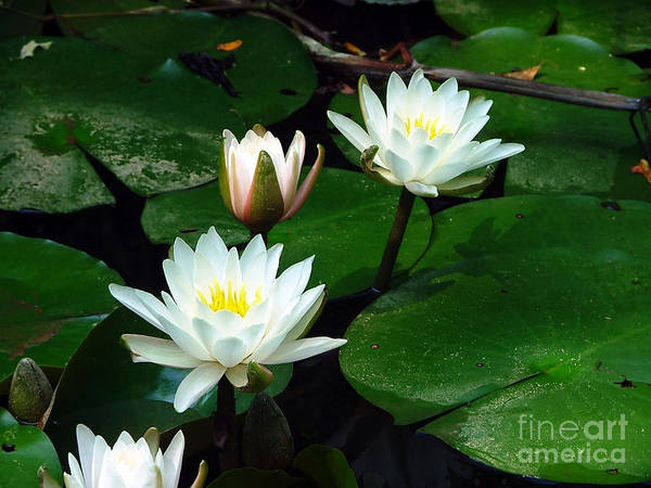 Lillypad Photograph - Lily Pad Flowers  by Jt PhotoDesign