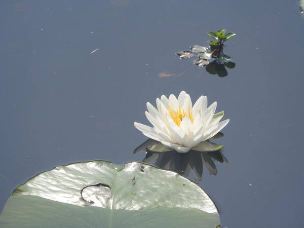 Ione Painting - Lily Pad by Ione Hedges