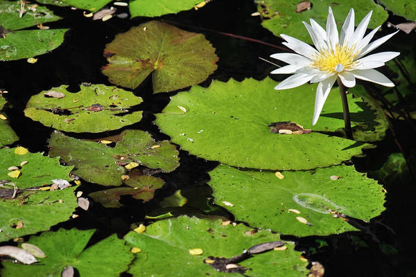 Photograph - Lily Pads And Lotus Flower by Jason Politte