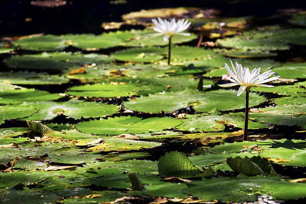 Photograph - Lily Pads And Lotus Flowers With Dragonfly by Jason Politte