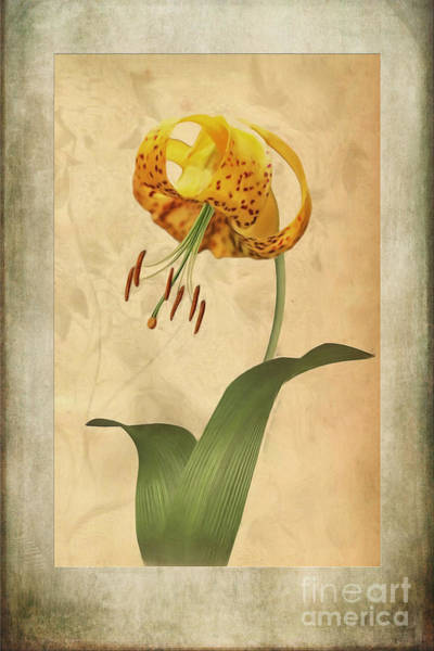 Lilium Wall Art - Painting - Lily Painting With Textures by John Edwards