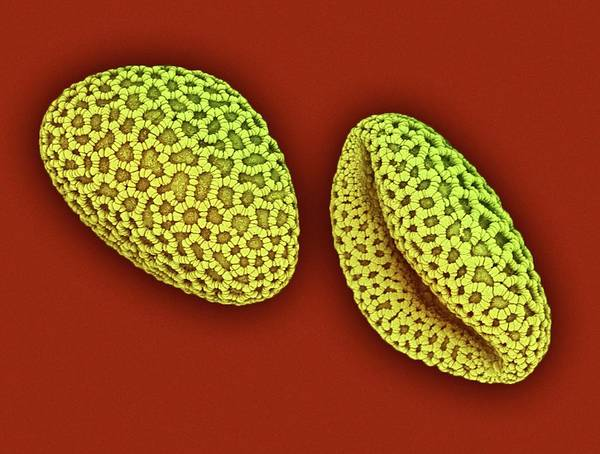 Angiosperm Photograph - Lily Pollen by Ami Images