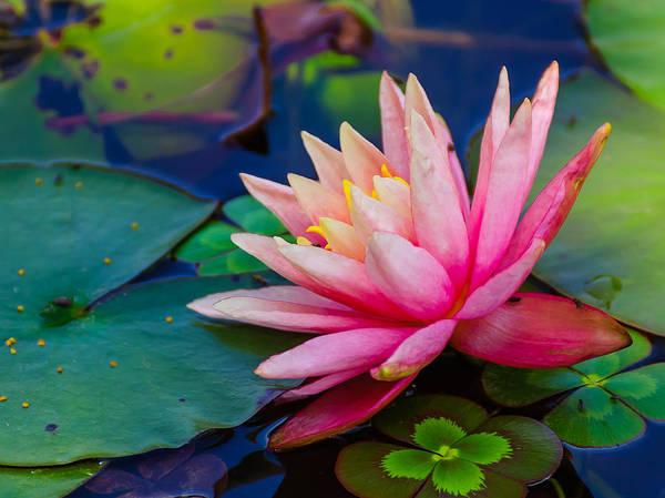 Photograph - Lily Pond by John Johnson