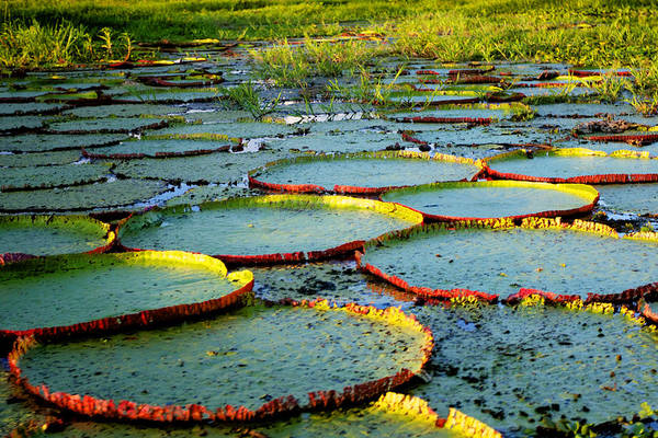 Photograph - Lily Pond by John  Nickerson