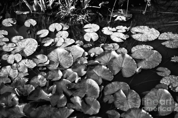 Photograph - Lily Pond Mono by John Rizzuto