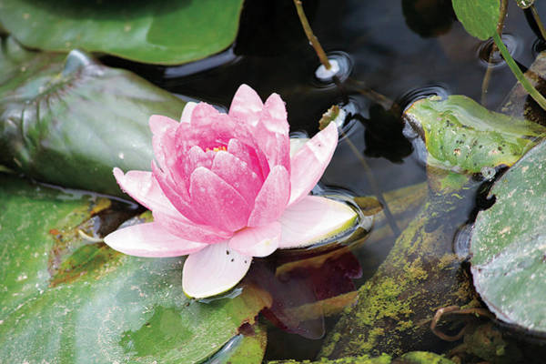 Photograph - Lily Pond by Susan Schroeder