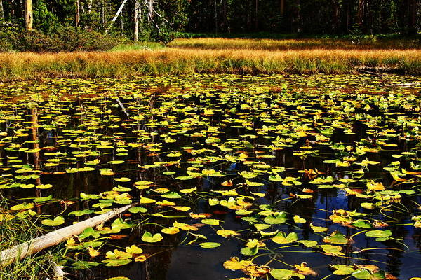 Photograph - Lily Pond - Yellowstone National Park - Wyoming by Aidan Moran