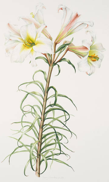 White Lily Painting - Lily Regale by Sally Crosthwaite