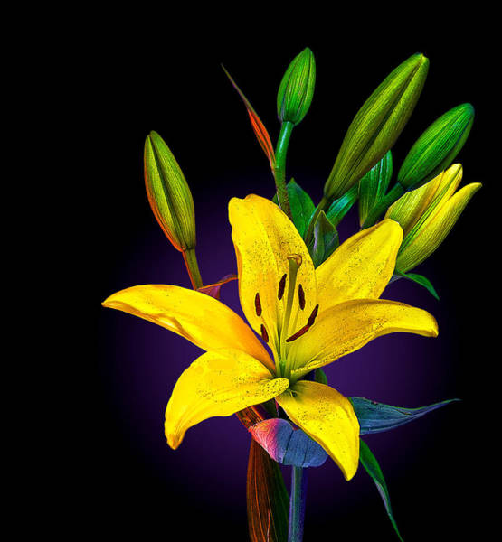 Photograph - Lily by Rick Mosher