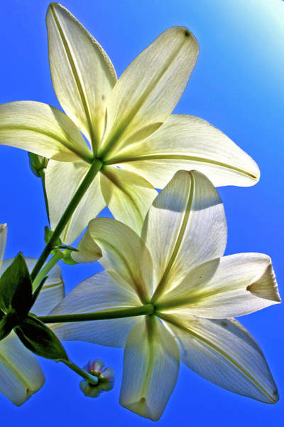 Photograph - Lily Sky by Robert Clifford