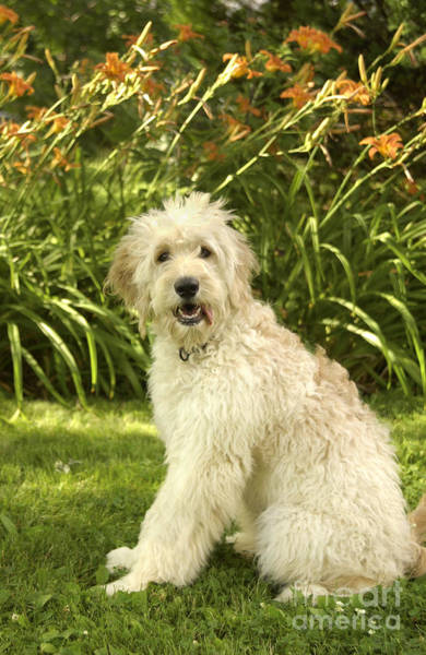 Fetch Photograph - Lily The Goldendoodle With Daylilies by Anna Lisa Yoder