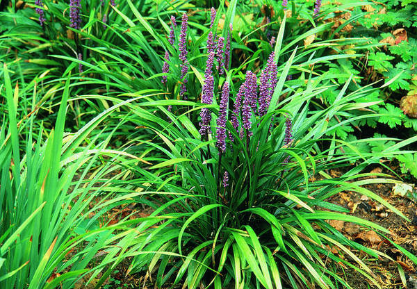 Wall Art - Photograph - Lilyturf (liriope Muscari) by Science Photo Library