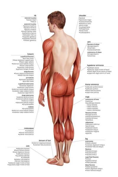 Atlas Of Human Anatomy Wall Art - Photograph - Limbs Muscular Groups by Asklepios Medical Atlas