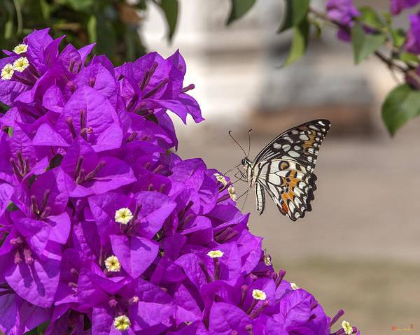 Photograph - Lime Butterfly Papilio Demoleus Dthn0173 by Gerry Gantt