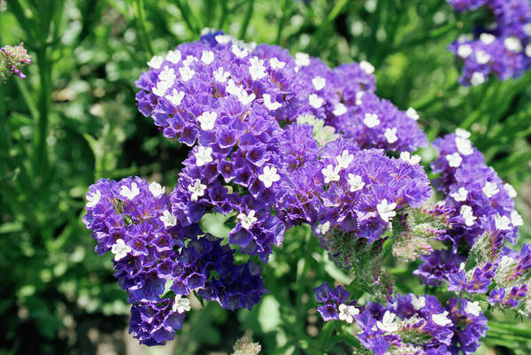 Wavy Wall Art - Photograph - Limonium Sinuatum 'midnight Blue' by Mike Comb/science Photo Library