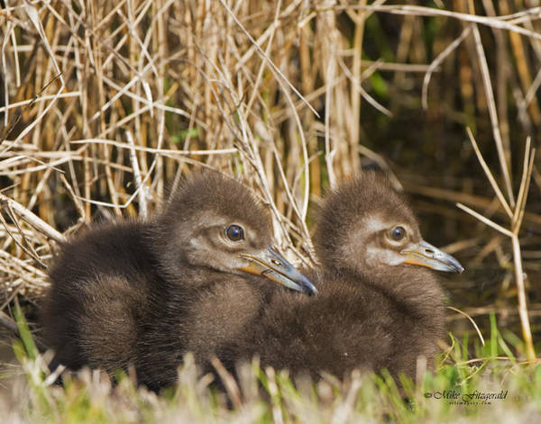Photograph - Limpkin Twins by Mike Fitzgerald