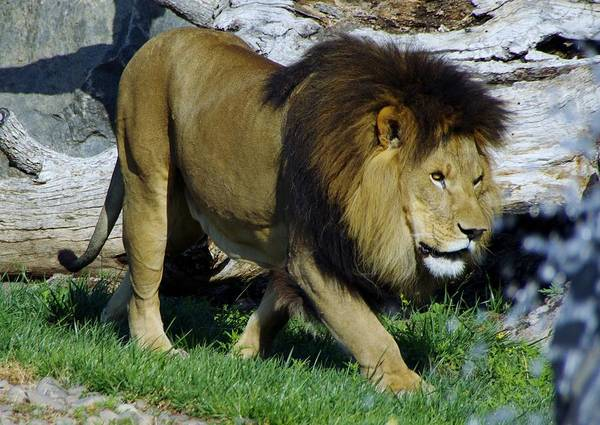 Photograph - Lion 1 by Phyllis Spoor