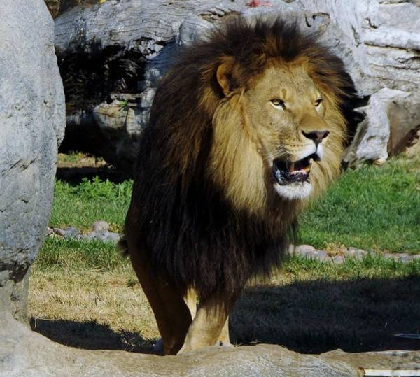 Photograph - Lion 2 by Phyllis Spoor