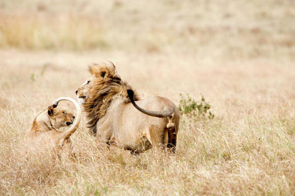 Mating Ritual Photograph - Lion And A Lioness Panthera Leo by Animal Images