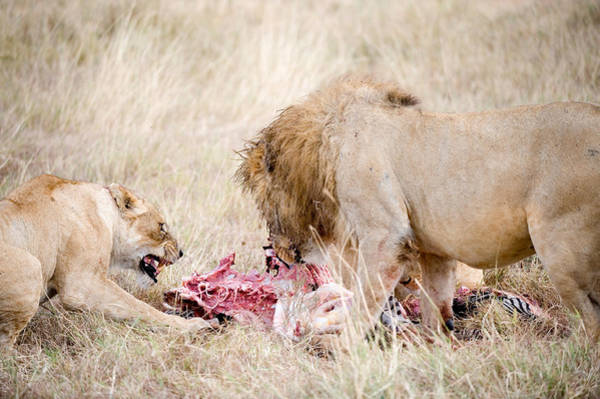 Carnivora Photograph - Lion And A Lioness Panthera Leo Eating by Panoramic Images