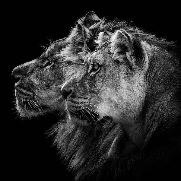 Wall Art - Photograph - Lion And  Lioness Portrait by Laurent Lothare Dambreville