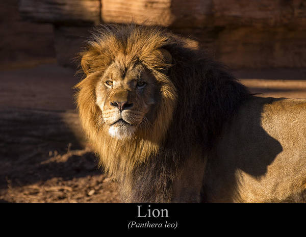Digital Art - Lion by Chris Flees