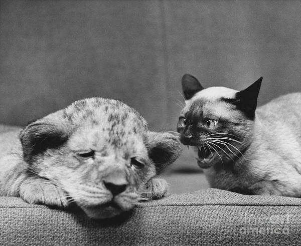 Different Animals Photograph - Lion Cub And Siamese Cat by Ylla