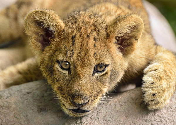 Photograph - Lion Cub by Bill Dodsworth