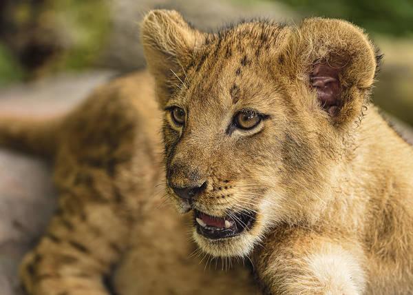 Photograph - Lion Cub Close Up by Bill Dodsworth
