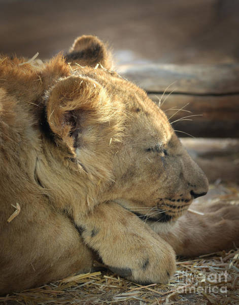 Photograph - Lion Cub Cropped by Elle Arden Walby